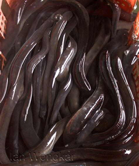 Daftar Bibit Ikan Sidat cara budidaya ikan sidat tips peternakan budidaya dan