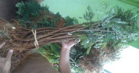Jual Bibit Kaliandra Merah Surabaya jual bibit pohon kaliandra merah harga terjangkau jual