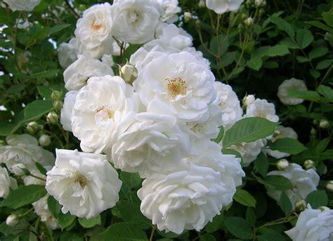 wallpaper bunga rose putih galeri gambar bunga mawar yang cantik dan indah 2 jenis
