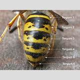 Queen Wasp Compared To Normal Wasp | 400 x 300 jpeg 164kB