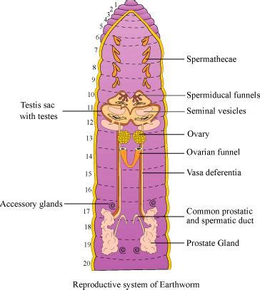 earthworm reproduction diagram draw a labelled diagram of the reproductive organs of an earthworm freeshiksha questions answer