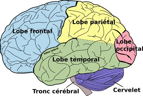 diagram of brain lobes file brain diagram fr png wikimedia commons