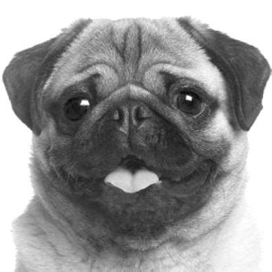 cool drawings of pugs 540 best images about pug