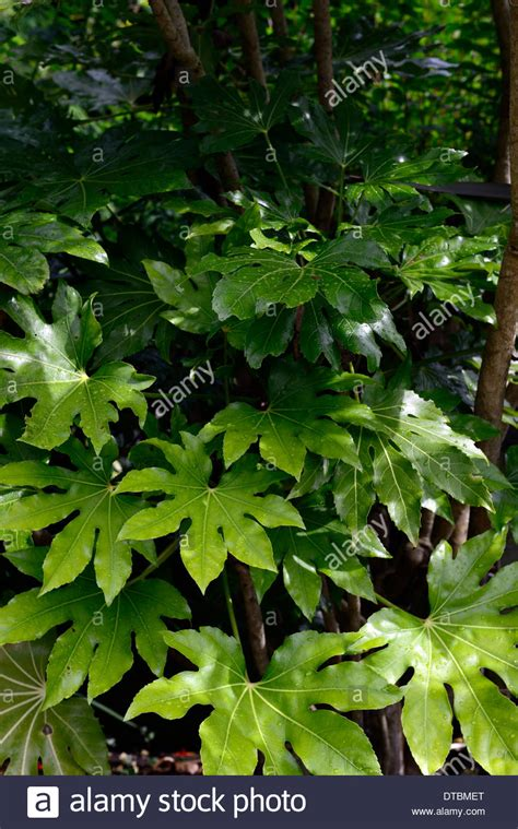 fatsia japonica green foliage leaves plant portraits evergreen shrubs stock photo royalty free
