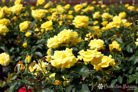sunsprite floribunda rose