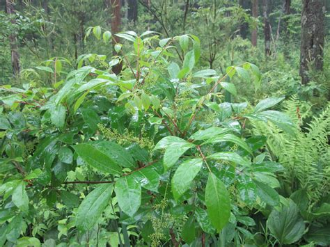 poison sumac among the stately trees
