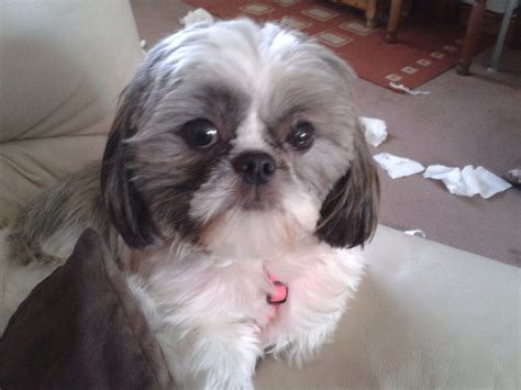 wanted shih tzu puppy lil shih tzu stud wanted birkenhead merseyside pets4homes