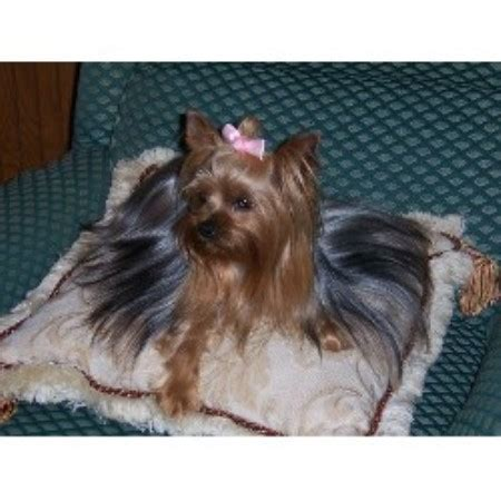 yorkie puppies for sale in winston salem nc shiloh creek kennels terrier breeder in winston salem carolina