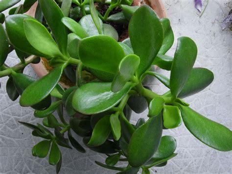 plante caoutchouc chambreacoucherdakar