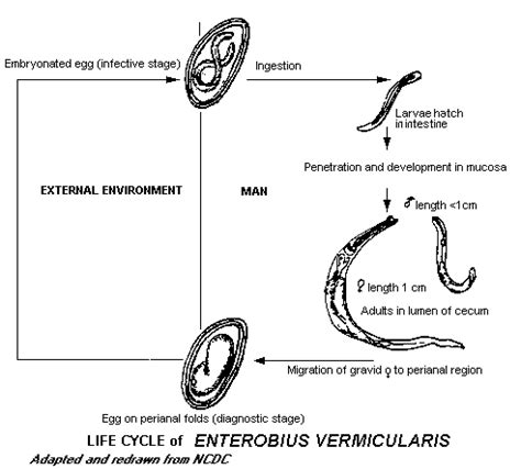 pinworm cycle diagram cycle of enterobius vermicularis www pixshark