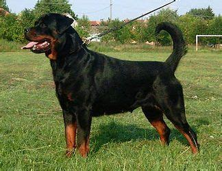german rottweiler pictures 11 best images about dogs on caucasian shepherd puppys and puppy images