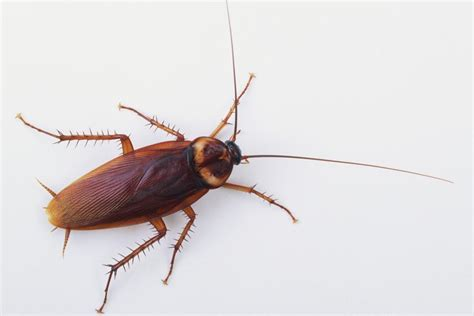 why cockroaches survive