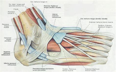 tendon diagram foot tendons anatomy human anatomy diagram