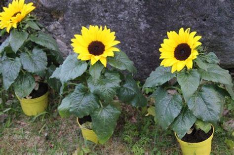 menanam  merawat bunga matahari  pot