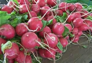 Radishes: Planting, Growing and Harvesting Radish Plants