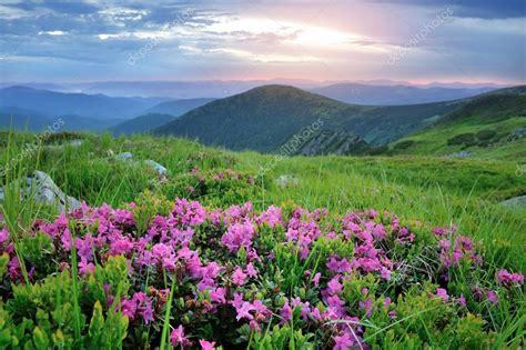 fiori di rododendro fiori di rododendro rosa magica sulla montagna estate
