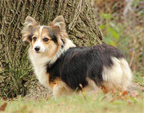 akc corgi puppies pembroke corgis for sale ads free classifieds