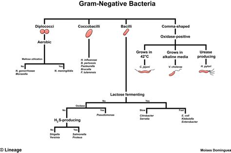 gram negative identification flowchart gram negative bacteria microbiology medbullets step 1