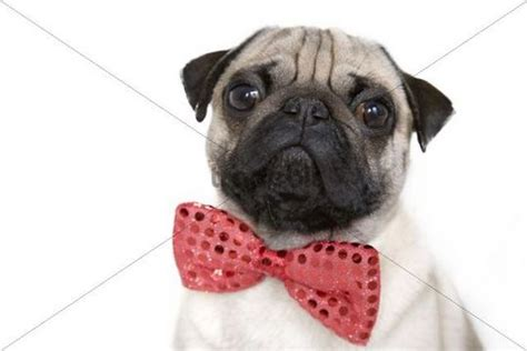 pug in a bow tie pug with a bow tie portrait animals