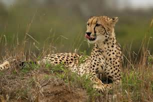 Flowers From India - cheetah animal photos
