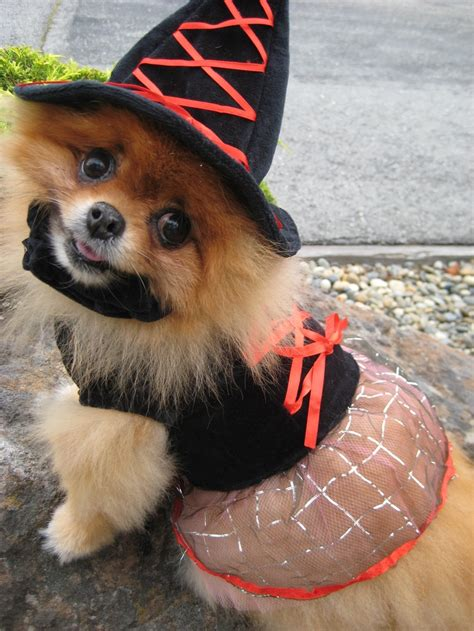 pomeranian in pomeranian dressed up in witch costume pomeranians