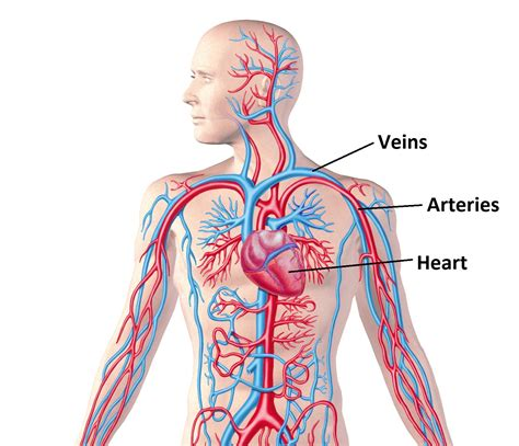 circulatory system diagram what is blood pressure osteopathy singapore