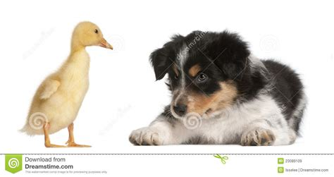 6 week puppy border collie puppy 6 weeks royalty free stock images image 23089109