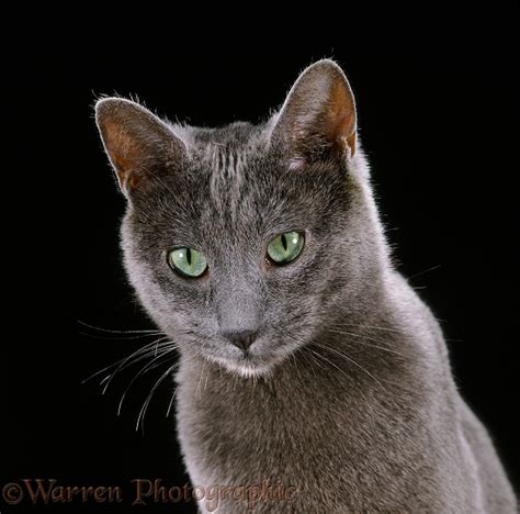 Russian Blue female cat on black background photo WP37691