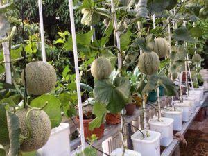 contoh tanaman hidroponik sederhana   menanamnya