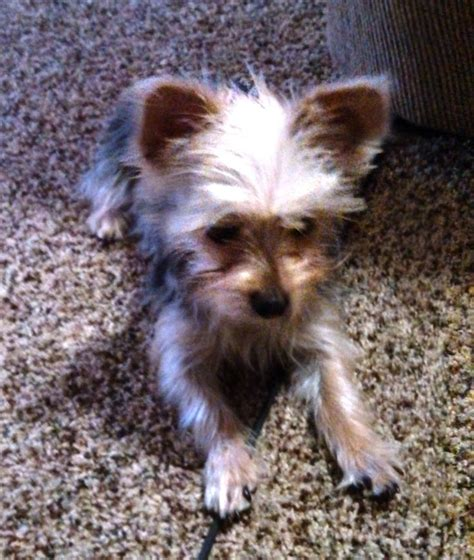 cute chorkie puppy haircuts 36 best images about chorkies on pinterest chihuahuas
