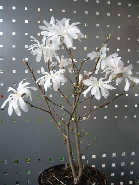 sternmagnolie kaufen sternmagnolie magnolia stellata baumschule horstmann