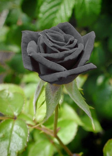 wallpaper cantik hitam image gallery mawar hitam