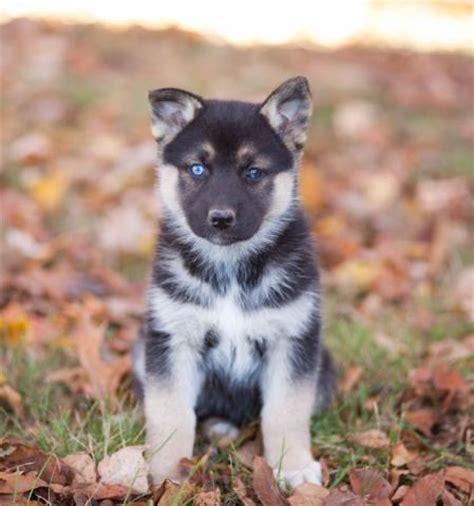 husky puppies massachusetts german shepherd husky puppies craigspets