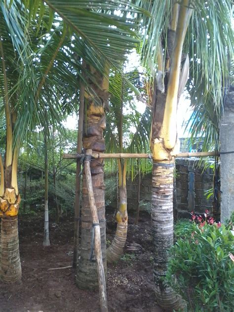 jual pohon kelapa hias kelapa kuning kelapa gading
