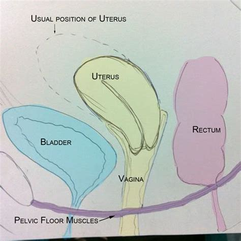 diagram of fallopian and uterus pelvic organ prolapse part 1 s health
