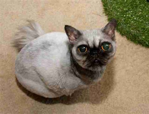 pug cat rescue cat looks exactly like a pug the dodo