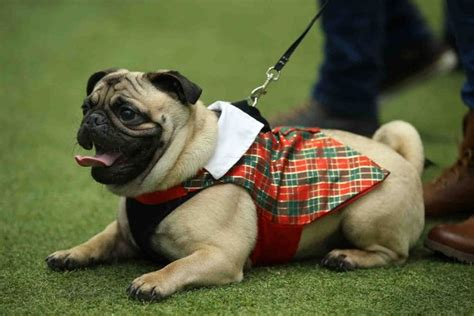 pug rescue scotland the 11 most important pugs from pugfest in cardiff wales