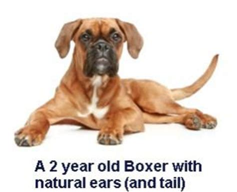 ear cropping price boxer cropped ears www pixshark images galleries with a bite