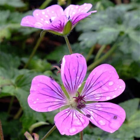 geranium sweet heidy dorset perennials