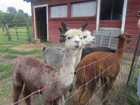 Patchwork Farm Alpacas - patchwork farm alpacas selinsgrove pa kid friendly