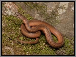 Florida Backyard Snakes Florida Brown Snake Florida Backyard Snakes