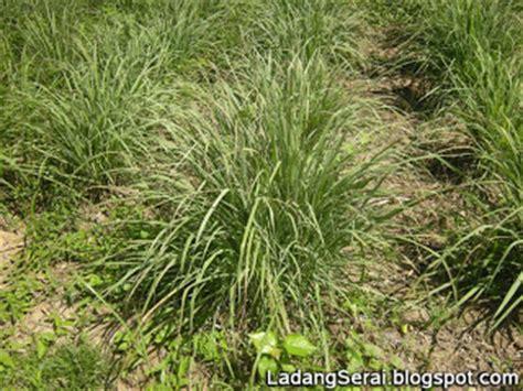 Benih Serai Peha Ayam ladang serai lemongrass farm malaysia gambar serai