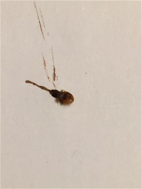 where are bed bugs found the bed bug i found on the pillow in my room picture of