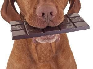 why chocolate is bad for dogs why is chocolate bad for dogs pet health