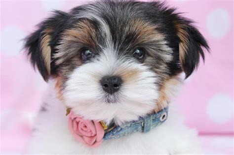 biewer puppies biewer terrier breed information and pictures on puppyfinder