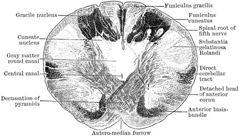 transverse section of the brain transverse section through the the medulla clipart etc