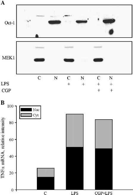Nucleo-cytoplasmic distribution of TNF a mRNA. (A) The