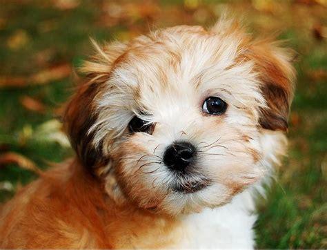 newborn havanese puppies picture of havanese puppy jpg hi res 720p hd