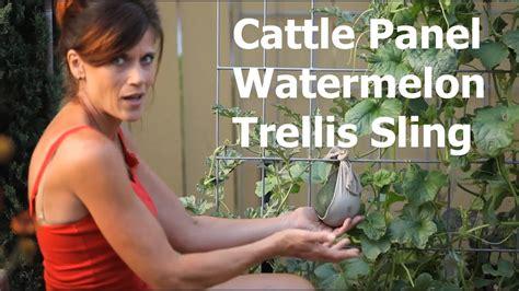 cattle panel watermelon trellis sling youtube