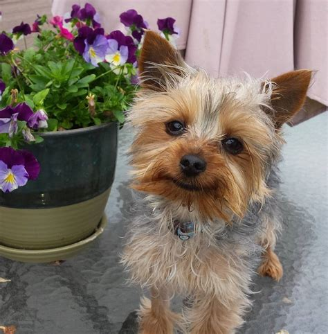 where to adopt a yorkie welcome save a yorkie rescue